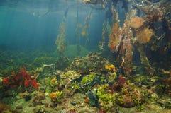 Espèce marine sous-marine colorée dans le palétuvier Photo libre de droits