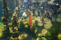 Espèce marine sous-marine dans les racines de palétuvier Photographie stock libre de droits