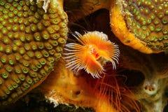 espèce marine sous-marine Rouge-repérée de ver en fer à cheval Image libre de droits