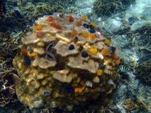 Espèce marine sous-marine, vers d'arbre de Noël Images libres de droits