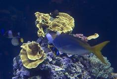 Espèce marine sur le récif coralien Photo libre de droits