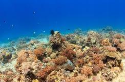 Espèce marine sur un récif coralien Photos libres de droits