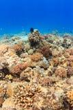 Espèce marine sur un récif coralien sain Image libre de droits