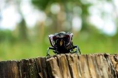 Espèce menacée des scarabées de rosacea Photos stock