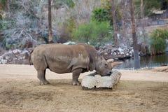 Espèce menacée noire de rhinocéros Photo stock
