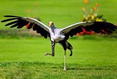 Espèce très rare d'oiseau de proie Photos stock