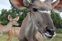 Espèces africaines de cerfs communs image libre de droits
