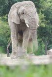 Espèces animales d'éléphant africain vulnérables se tenant parmi la terre poussiéreuse sèche Photographie stock libre de droits