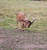 Espèces animales de moutons de Barbarie (aoudad) Photos libres de droits