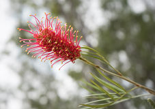 Espèces australiennes de Grevillea de Wildflower Photo stock