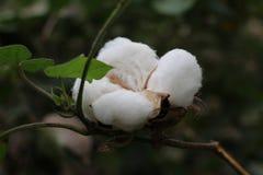 Espèces blanches comme neige de gossypium Photographie stock libre de droits