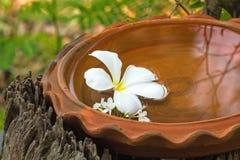Espèces blanches de Plumeria (le frangipani fleurit, Frangipani, arbre de pagoda Images libres de droits