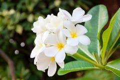 Espèces blanches et jaunes de Plumeria Image libre de droits