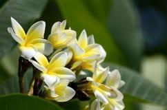 Espèces blanches et jaunes de Plumeria Photo stock