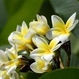 Espèces blanches et jaunes de Plumeria Photos libres de droits