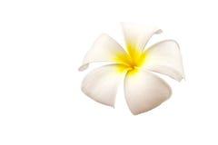 Espèces blanches et jaunes de Plumeria Fleur d'isolement sur le blanc Photos stock