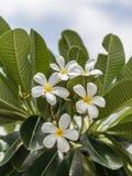 Espèces blanches et jaunes de Plumeria (fleurs de frangipani, Frangipani, Photographie stock