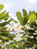 Espèces blanches et jaunes de Plumeria (fleurs de frangipani, Frangipani, Photographie stock libre de droits