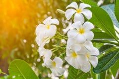 Espèces blanches et jaunes de Plumeria flowerfrangipani, arbre de pagoda o Photographie stock libre de droits