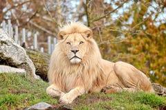 Espèces blanches rares de Lion Panthera Leo Krugeri Endangered photo stock
