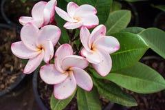 Espèces blanches, roses et jaunes de Plumeria Photos libres de droits