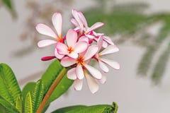 Espèces blanches, roses et jaunes de Plumeria (fleurs de frangipani, Frang Images libres de droits
