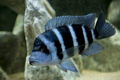 Espèces bleues de Frontosa Zaïre du Lac Tanganyika Image libre de droits
