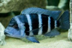 Espèces bleues de Frontosa Zaïre du Lac Tanganyika Images stock