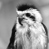 Espèces colletées-falconet (de caerulescens de Microhierax) d'oiseau de Image libre de droits