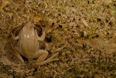 Espèces communes de Pelophylax de grenouille dans Valliguieres, France Photo libre de droits