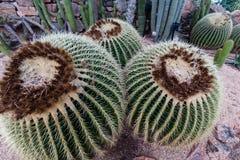 Espèces cultivées de cactus avec de longues épines pointues Photo libre de droits