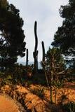Espèces cultivées de Cylindropuntia et de cactus de saguaro Image stock