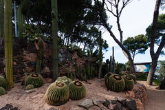 Espèces cultivées des cactus d'or de baril et de saguaro Images libres de droits