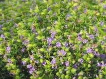Espèces d'†de Pleocaulus Ritchei les «de la fleur ont trouvé dans le plateau de Kaas Photos stock