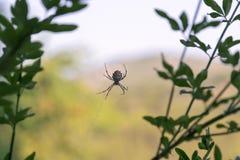Espèces d'araneae d'araignée sur un Web Photographie stock