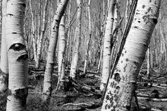 Espèces d'arbre-bétula de bouleau Images libres de droits