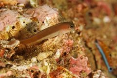 Espèces d'Ecsenius - mer d'Andaman photographie stock libre de droits