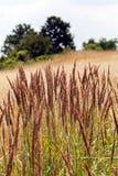 Espèces d'herbe grande Photographie stock libre de droits