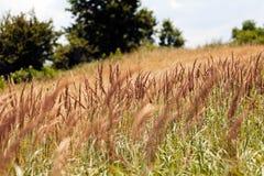 Espèces d'herbe grande Photographie stock