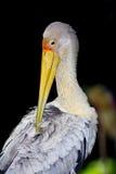 Espèces d'oiseau de cigogne Image libre de droits