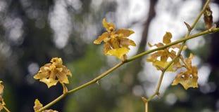 Espèces d'orchidée brésilienne Photos stock