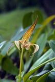 Espèces d'orchidée brésilienne Photos libres de droits