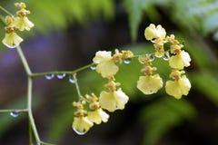 Espèces d'orchidée brésilienne Photographie stock libre de droits