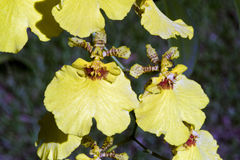 Espèces d'orchidée du genre Oncidium Photo stock