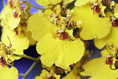 Espèces d'orchidée du genre Oncidium Photos stock
