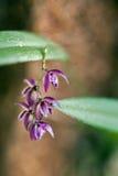 Espèces d'orchidée en fleur Photo libre de droits