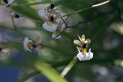 Espèces d'orchidée en fleur Image libre de droits