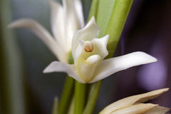 Espèces d'orchidée, une des plus grandes familles botaniques Image stock