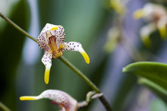 Espèces d'orchidée, une des plus grandes familles botaniques Images libres de droits