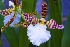 Espèces d'orchidée, une des plus grandes familles botaniques Photographie stock